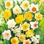 daffodils-300x300
